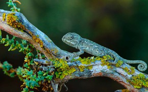 Picture nature, chameleon, branch, Spain