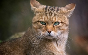 Picture cat, cat, look, face, background, portrait, evil, ears, unhappy, the expression, Kote, green-eyed, handsome, wild, …