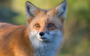 Picture look, face, background, portrait, Fox, red