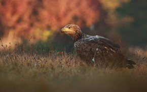 Picture autumn, grass, nature, bird, predator, Falcon, Lukasz Sokol