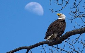 Picture the sky, look, branches, blue, tree, bird, eagle, the moon, eagle, blue background, bald eagle, …