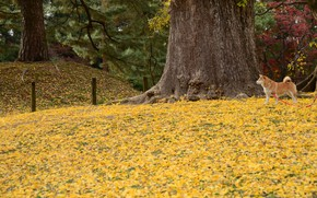 Picture autumn, dog, walk, yellow leaves