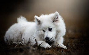 Picture white, grass, look, pose, glade, dog, puppy, lies, Samoyed