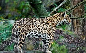 Picture predator, Jaguar, fauna
