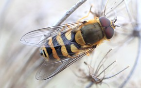 Picture macro, fly, background, stem, insect, striped, blurred, fly