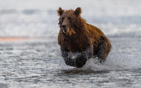 Picture water, squirt, river, bear, running, beast