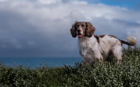 Picture language, the sky, clouds, nature, foliage, dog, Spaniel