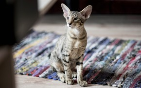 Picture cat, cat, look, face, pose, kitty, room, Mat, sitting, bokeh, Sphinx, tabby, rug
