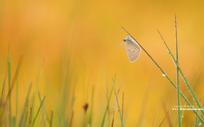 Picture grass, Rosa, butterfly, morning