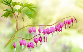 Picture leaves, flowers, branch, hearts, pink, bokeh, broken heart, the bleeding heart