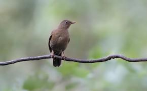 Picture bird, branch, xerocracy thrush