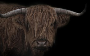 Picture background, cattle, bull