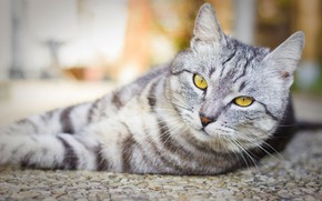 Picture cat, cat, face, grey, background, portrait, light, lies, striped, British, smoky, handsome, yellow eyes, blurred, …