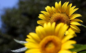 Picture summer, sunflowers, flowers, the dark background, positive, yellow, a couple, Duo, two, sunflower, bokeh, two …