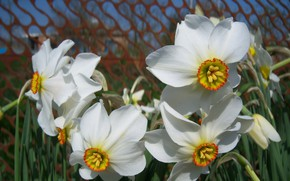 Picture flowers, white, daffodils, Meduzanol ©