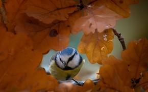 Picture autumn, leaves, nature, bird, tit