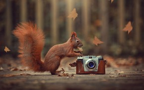 Picture autumn, leaves, nature, animal, walnut, protein, the camera, animal, rodent, Ahmed Hanjoul