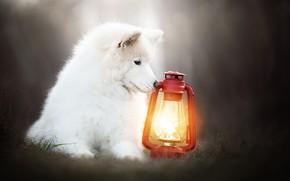 Picture background, dog, lantern, Samoyed