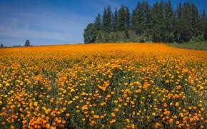 Picture field, the sky, the sun, trees, flowers, Maki, orange, Oregon, Silverton, Marion County