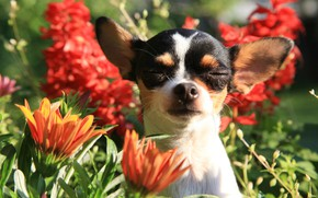 Wallpaper flowers, portrait, ears, face, doggie, Chihuahua, dog