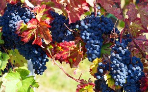 Picture autumn, leaves, light, branches, blue, nature, berries, food, garden, harvest, grapes, red, vineyard, fruit, a …