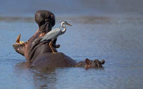 Picture hippo, South Africa, Kruger National Park, Grey heron, Sunset Dam