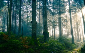 Picture forest, the sun, rays, light, trees, branches, nature, fog, trunks, foliage, morning, pine, path, misty, …