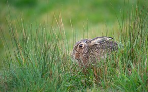 Picture grass, look, nature, grey, hare, profile, ears, cowardy custard