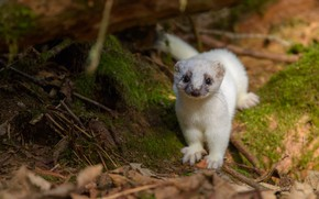 Picture nature, moss, baby, white, animal, weasel, cub