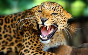 Picture look, face, portrait, mouth, leopard, fangs, roar