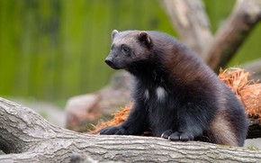 Picture look, nature, pose, tree, log, sitting, green background, zoo, Wolverine