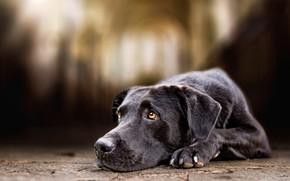 Picture look, face, background, tile, portrait, dog, black, lies, arch, blurred