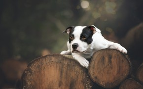 Picture dog, look, the dark background, lies, nature, log, logs, trunks, bokeh, tree, American pit bull …