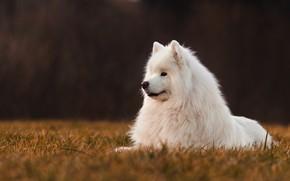 Picture field, the dark background, dog, Samoyed