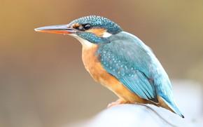 Picture look, close-up, background, bird, cute, profile, bird, sitting, blue, Kingfisher, bright plumage, bird