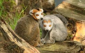Picture look, pose, tree, stump, pair, lemur, lemurs, a couple, two, sitting, faces, two lemur