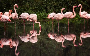 Picture birds, lake, reflection, the dark background, pack, drink, the bushes, Flamingo, pond, a lot, a …