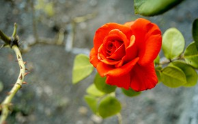 Picture flower, leaves, branches, background, rose, Bud, spikes, red, scarlet, bokeh
