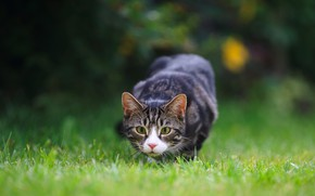 Picture grass, cat, look, nature, glade