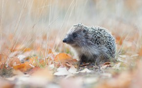 Picture autumn, grass, look, leaves, nature, stems, foliage, muzzle, animal, hedgehog, walk, light background, hedgehog, blade, …