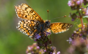 Picture macro, light, flowers, green, background, butterfly, insect, yellow, fritillary
