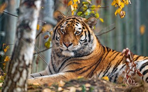 Picture autumn, look, face, leaves, branches, nature, tiger, background, tree, foliage, portrait, lies, birch, zoo, autumn
