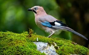Picture bird, stone, moss, Jay