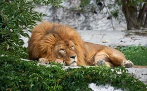 Picture nature, sleep, predator, Leo, sleeping, big cat
