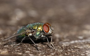 Picture fly, background, insect