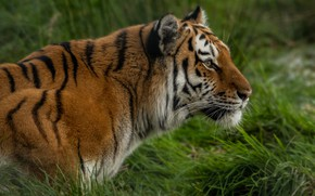 Picture grass, look, face, nature, tiger, background, portrait, profile, wild cat