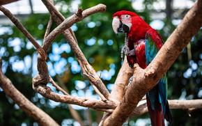 Picture branches, parrot, bokeh, Ara