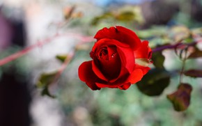 Picture flower, drops, background, rose, Bud, red, bokeh, rosette