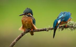 Picture birds, branch, a couple, Alcedo