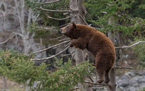 Picture spruce, bear, on the tree, The Bruins